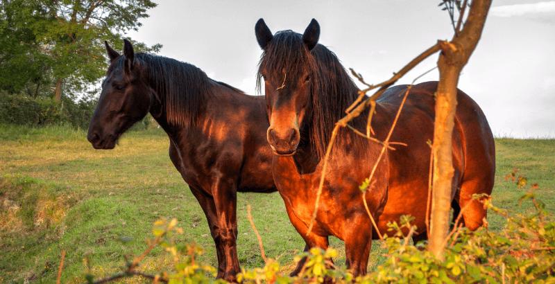 La Phtiriose : les Poux des chevaux