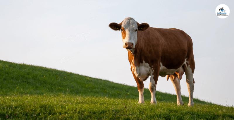 On a testé : Le K-ACTIV pour la complémentation en potassium des bovins