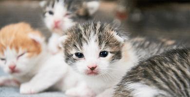 Comment choisir un chaton qui semble sain dans une portée atteinte par la Péritonite infectieuse féline ?