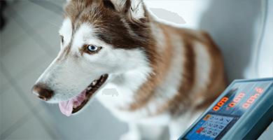 Maintenez le poids idéal de votre chien avec Purina Proplan Obesity