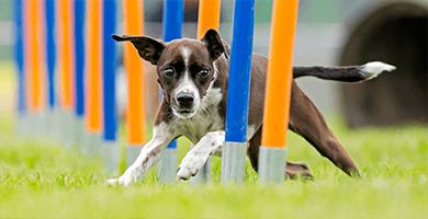 """Quelle niveau, fréquence et type d'activité doit-on fournir à un chien de race """"sportive"""" ?"""