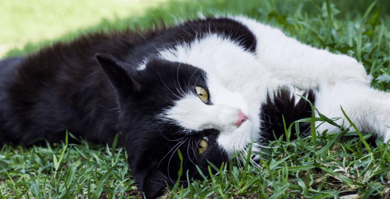 Comment se débarrasser des puces chez le chat ?