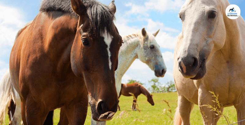 La gale chez le cheval