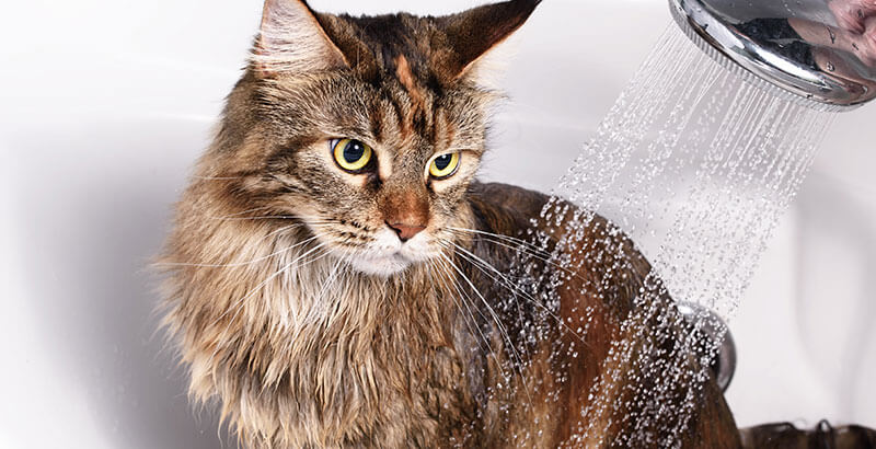 Faut-il laver un chat ?