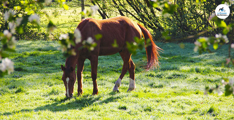 Pieds du cheval : soins locaux et cures de Biotine