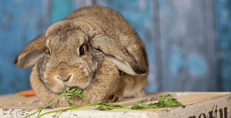 L'obésité chez les rongeurs et lapins