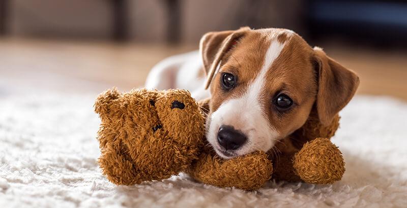 Vrai ou Faux : Les petits chiens sont plus agressifs que les grands