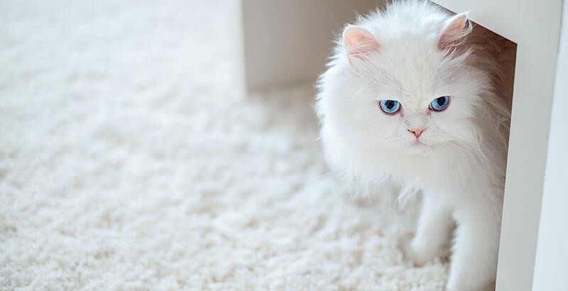 Vrai ou Faux : Un chat albinos est plus fragile