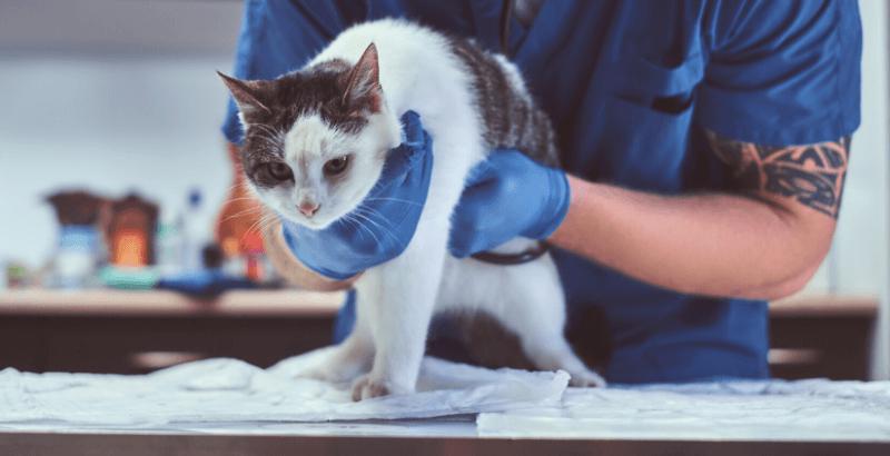 Cystite et infection urinaire du chat
