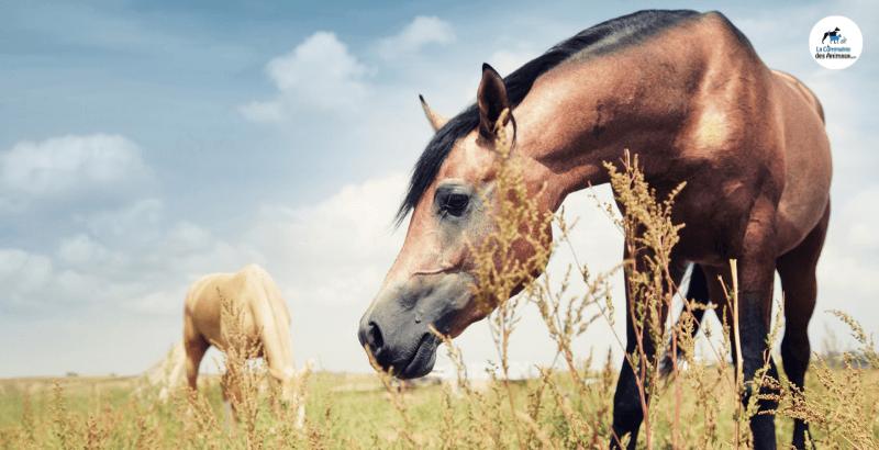 Le curcuma : de nombreux bienfaits pour le cheval !