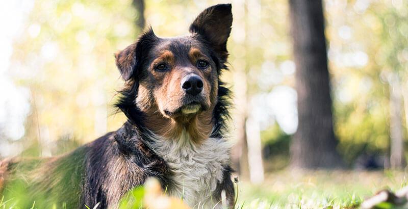 Mon chien a l'oreille gonflée, que faire ?