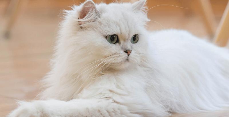 Les chats de races brachycéphales