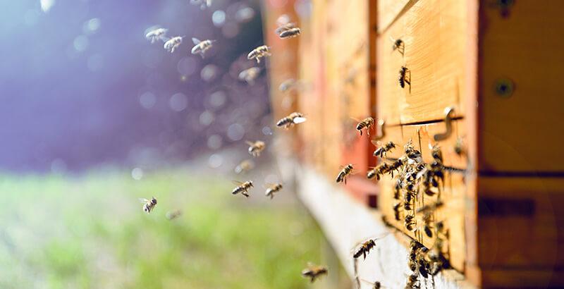 Comment traiter les ruches contre le Varroa destructor ?