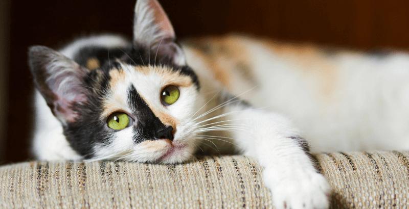 Comment soigner l'acné du chat ?