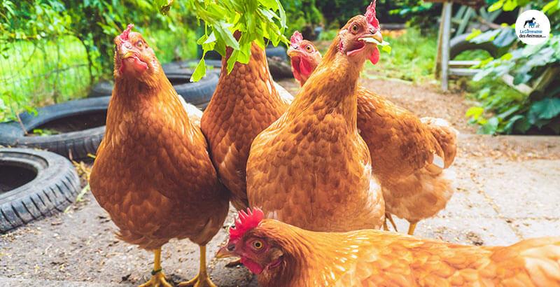 Pourquoi mes poules ne pondent-elles pas ?