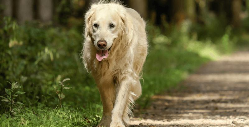 Prendre soin de son chien senior avec Proplan NEUROCARE