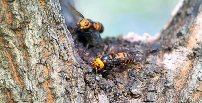 Comment se protéger du frelon asiatique ?