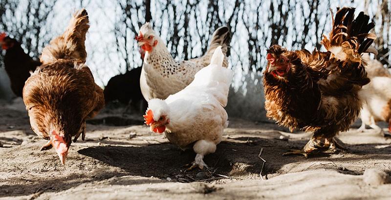 L'examen santé de la poule