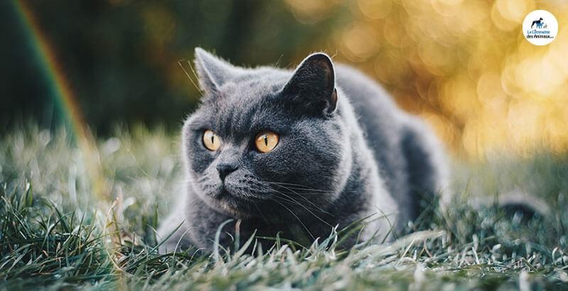 Pourquoi mon chat miaule t-il sans cesse ?