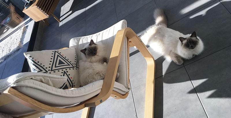 Interview : Mon chat est un Sacré de Birmanie