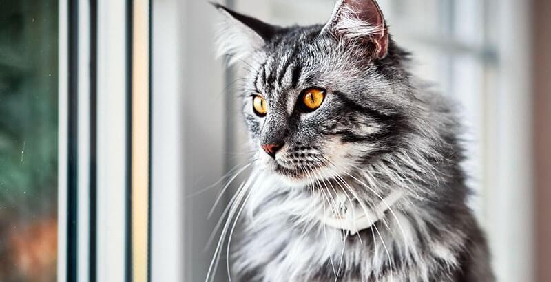 Quel traitement contre la pelade du chat ?
