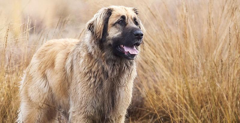 Vrai ou Faux : Un gros chien a besoin d'un grand espace
