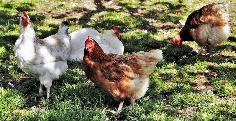 Comment prendre soin des pattes des poules ?