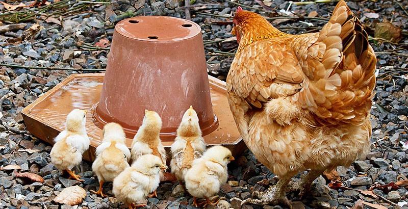 L'importance d'avoir des poules bien hydratées