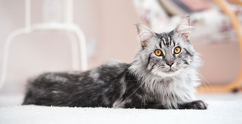 A quel âge faut-il stériliser ou castrer son chat ?