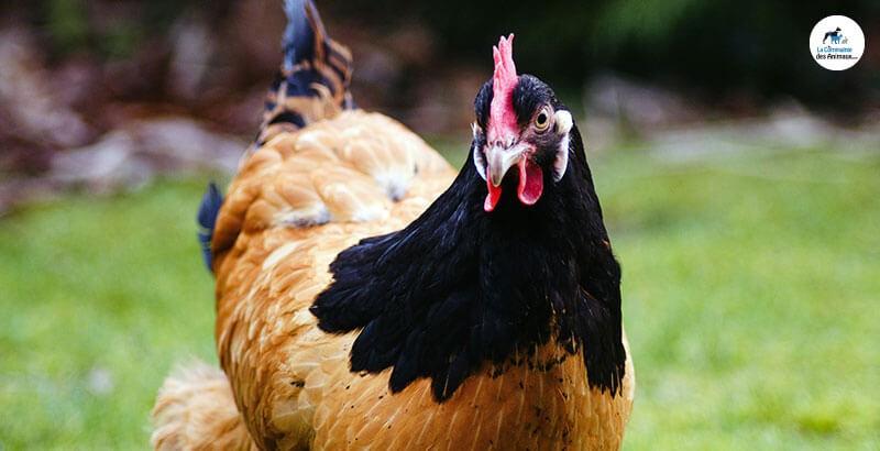 Une poule peut-elle s'ennuyer ?