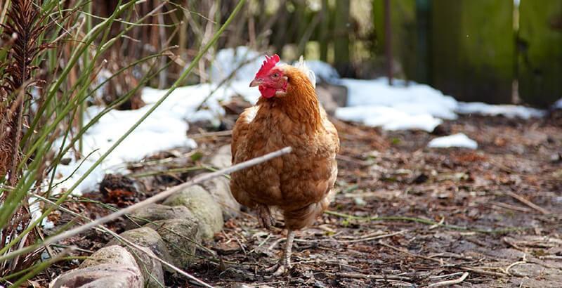 Comment préparer ses poules avant l'hiver ?
