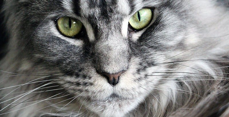 Focus race - Le Maine Coon