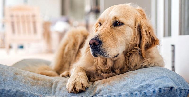 La stérilisation chimique du chien