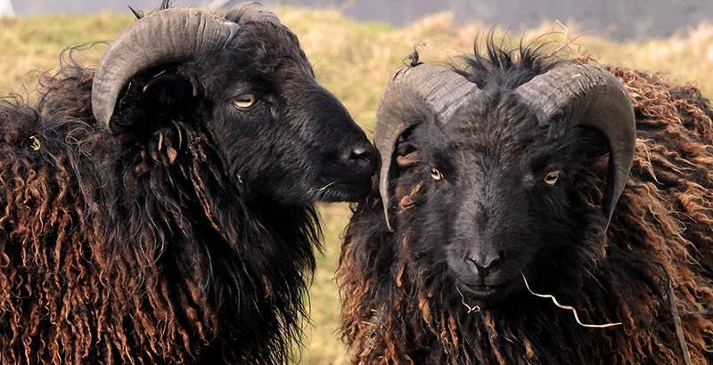 Focus race - Le Mouton d'Ouessant