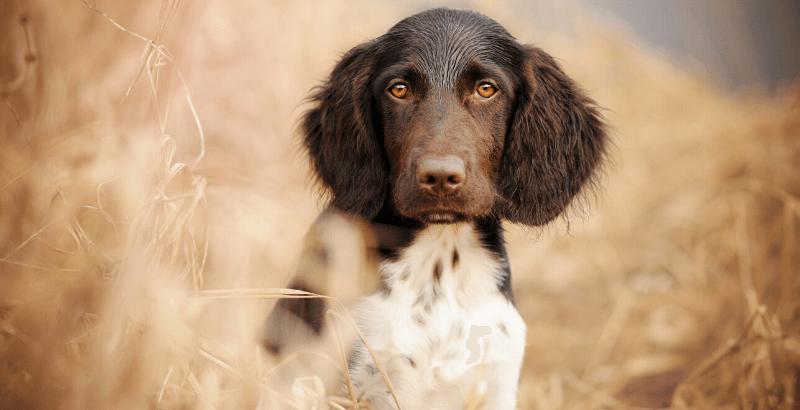 Comment protéger son chien des épillets ?