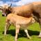 Vetebiol : Une aide précieuse en cas de congestion de la mamelle chez la vache