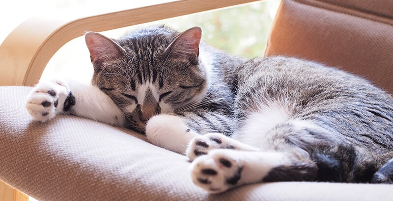 Vrai ou Faux : Un chat qui ronronne est content