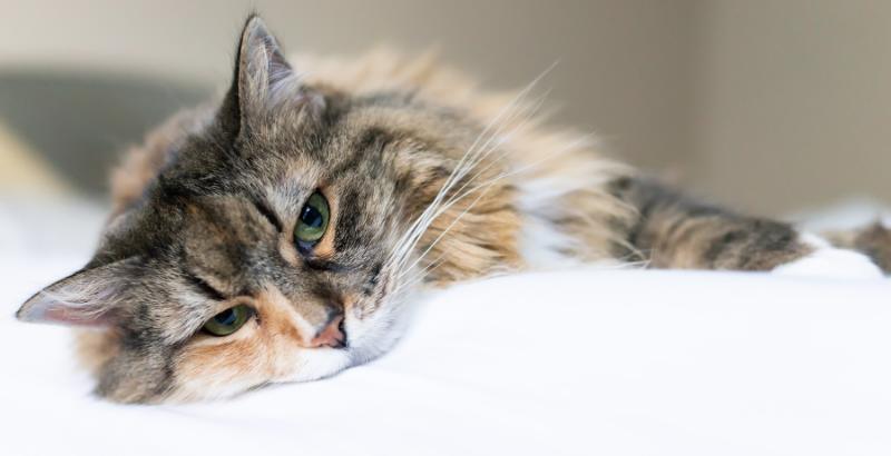 Mon chat vomit de la bile jaune : est ce grave ?