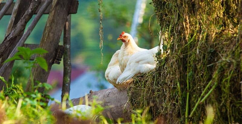 Le mode de vie d'une poule