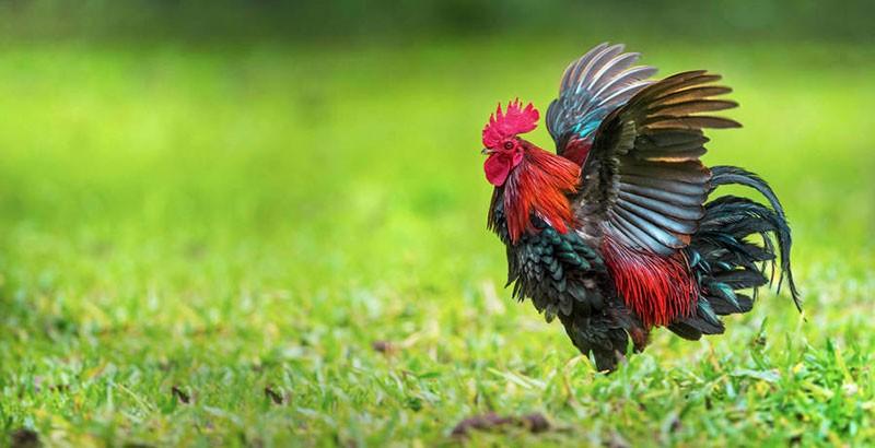 Poules : Et si nous parlions parasites ?