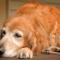 Grossesse nerveuse de la chienne : tout ce qu'il faut savoir