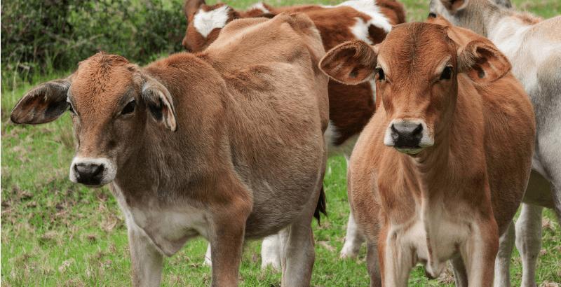 La gestion du parasitisme chez les jeunes bovins