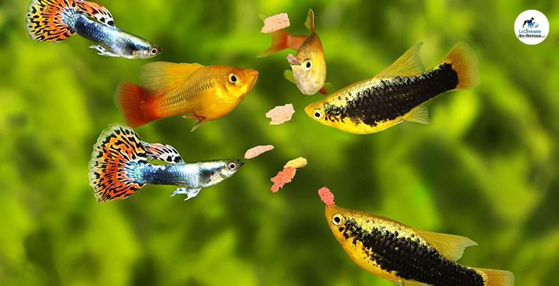 Comment nourrir les poissons de son aquarium ?
