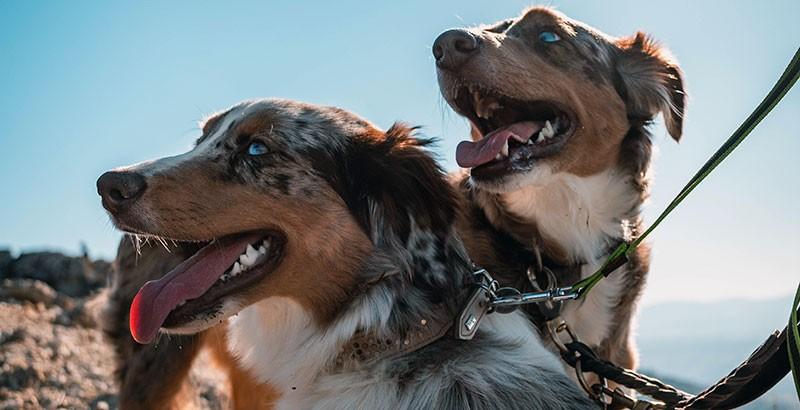 La mutation du gène MDR1 chez le chien