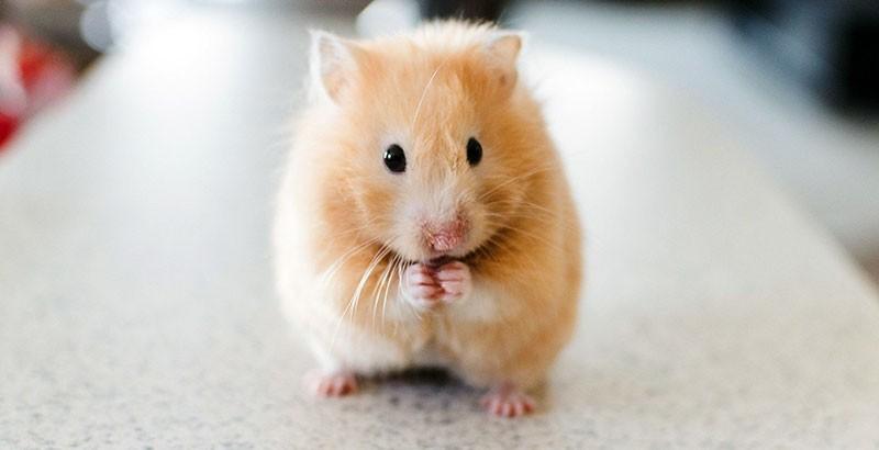 Focus race - Le Hamster