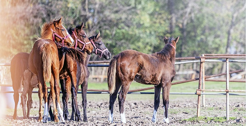 Les coronaviri des chevaux
