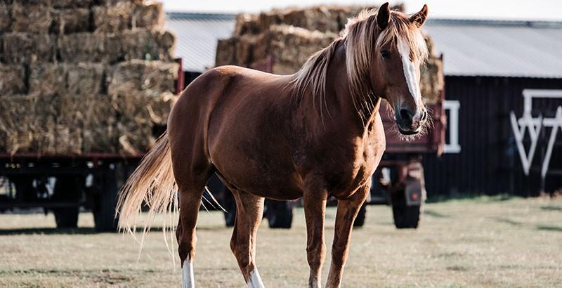 Les dorsalgies chez le cheval