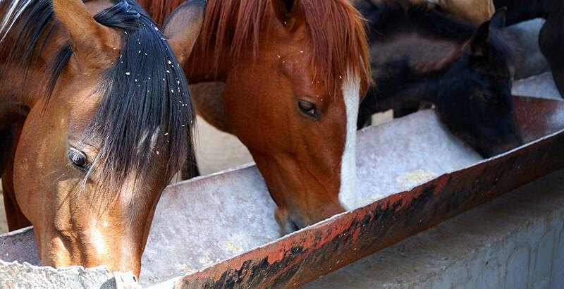 Alimentation des chevaux : Les compléments minéraux vitaminés