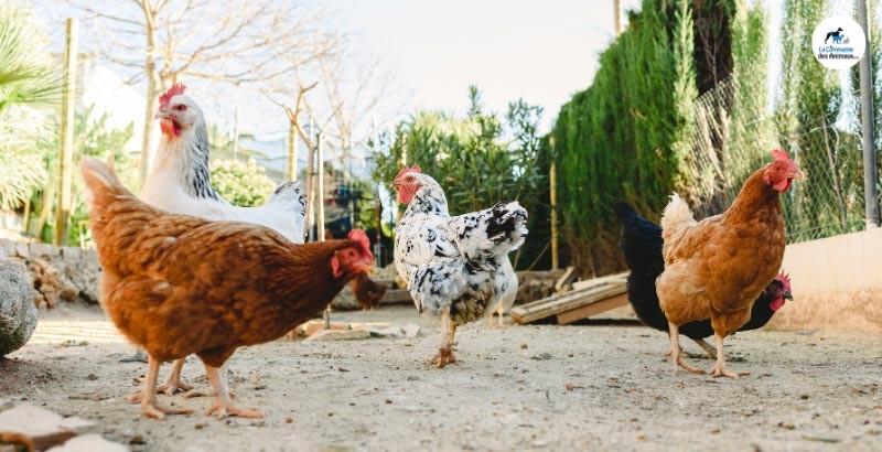 Quels traitements pour lutter contre les poux rouges des poules ?