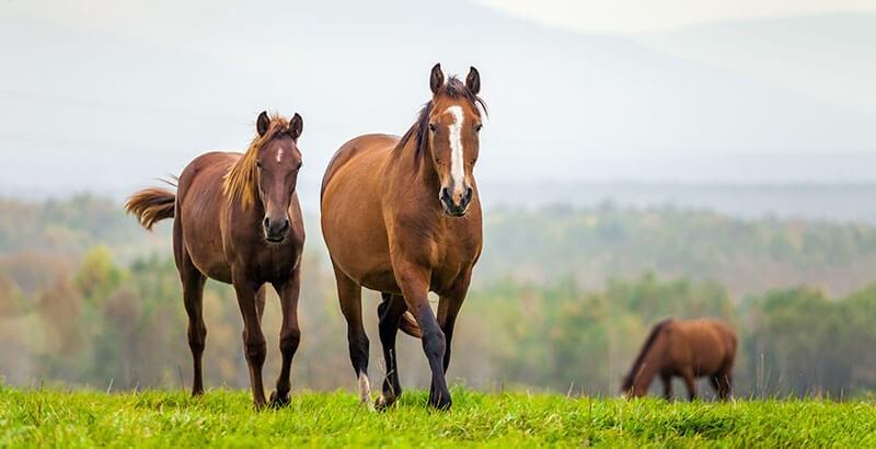 Les maladies liées à la reproduction chez les chevaux